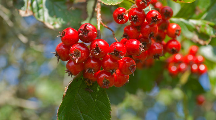 Hawthorn berries for high blood pressure